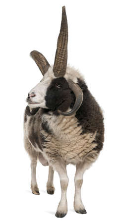 Multi-horned Jacob Ram, Ovis aries, in front of white background photo