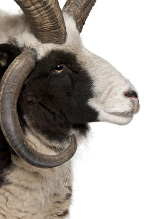 Close-up of Multi-horned Jacob Ram, Ovis aries, in front of white background photo