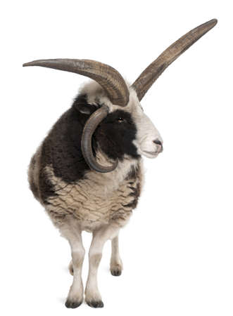 ovis: Multi-horned Jacob Ram, Ovis aries, in front of white background Stock Photo