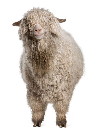goats: Angora goat in front of white background Stock Photo