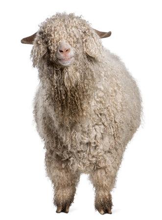 wild goat: Cabra de Angora de fondo blanco