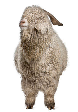 Angora goat in front of white background photo