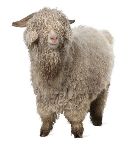 goat horns: Angora goat in front of white background Stock Photo
