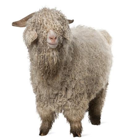 cabras: Cabra de Angora de fondo blanco