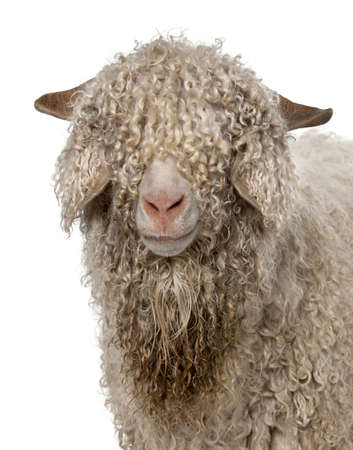 pecora: Close-up di capra Angora davanti a sfondo bianco Archivio Fotografico