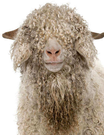cute sheep: Close-up of Angora goat in front of white background