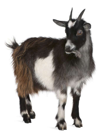 black and white farm: Common Goat from the West of France, Capra aegagrus hircus, 6 months old, in front of white background