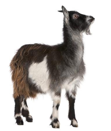 cabra: Cabra com�n desde el oeste de Francia, Capra aegagrus hircus, 6 meses de edad, de fondo blanco