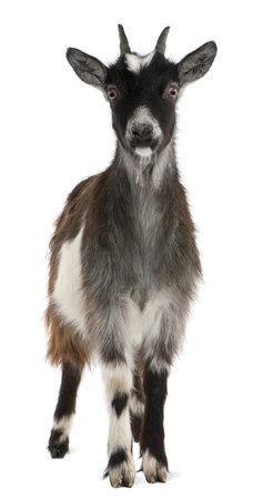 macho cabrio: Cabra com�n desde el oeste de Francia, Capra aegagrus hircus, 6 meses de edad, de fondo blanco