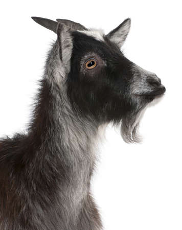 hircus: Close-up of Common Goat from the West of France, Capra aegagrus hircus, 6 months old, in front of white background Stock Photo