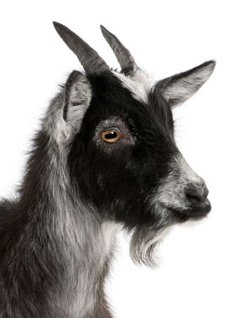 goats: Close-up of Common Goat from the West of France, Capra aegagrus hircus, 6 months old, in front of white background Stock Photo