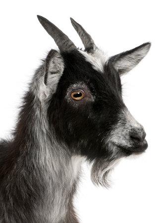 cabra: Primer plano de cabra com�n desde el oeste de Francia, Capra aegagrus hircus, 6 meses de edad, de fondo blanco