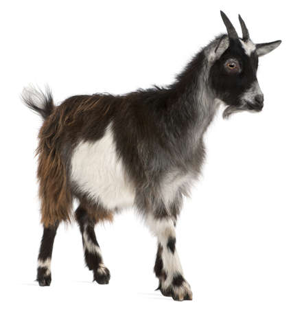 goat horns: Common Goat from the West of France, Capra aegagrus hircus, 6 months old, in front of white background