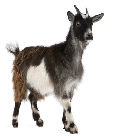 hircus: Common Goat from the West of France, Capra aegagrus hircus, 6 months old, in front of white background