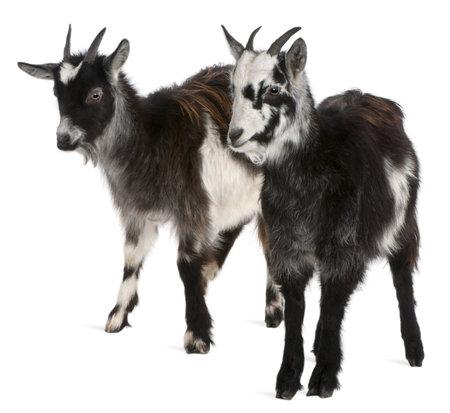 cabras: Cabras comunes desde el oeste de Francia, Capra aegagrus hircus, 6 meses de edad, de fondo blanco