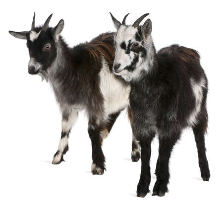 animals horned: Common Goats from the West of France, Capra aegagrus hircus, 6 months old, in front of white background
