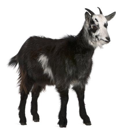 cabras: Cabra com�n desde el oeste de Francia, Capra aegagrus hircus, 6 meses de edad, de fondo blanco