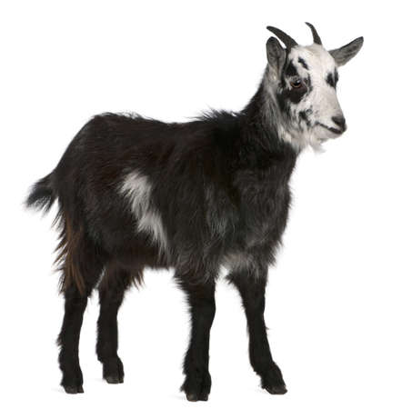 goats: Common Goat from the West of France, Capra aegagrus hircus, 6 months old, in front of white background