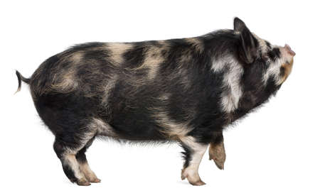 Kounini pig in front of white background photo