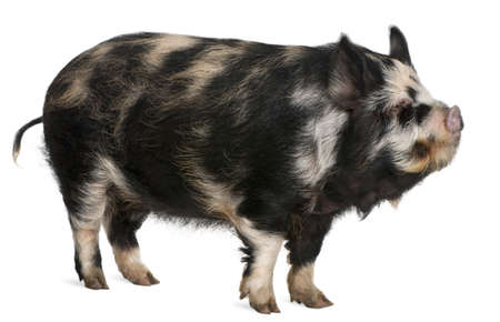 Kounini pig in front of white background Stock Photo - 8972979