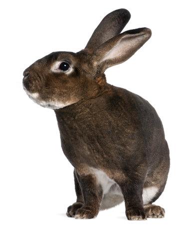 castor: Castor Rex rabbit in front of white background