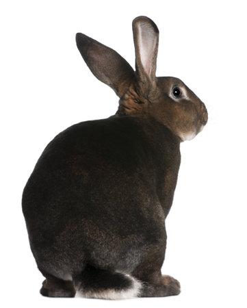 ricin: Castor Rex lapin de fond blanc Banque d'images