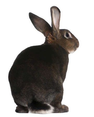 shot from behind: Castor Rex rabbit in front of white background
