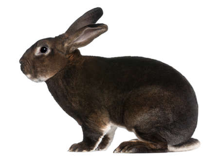 Castor Rex rabbit in front of white background Stock Photo - 8972919