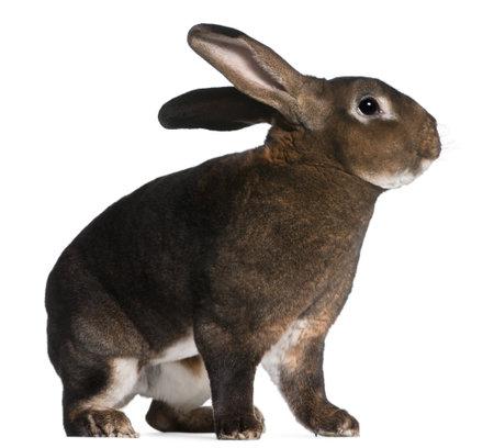 Castor Rex rabbit in front of white background Reklamní fotografie