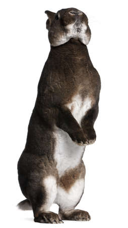 Castor Rex rabbit standing on hind legs in front of white background Stock Photo - 8972615