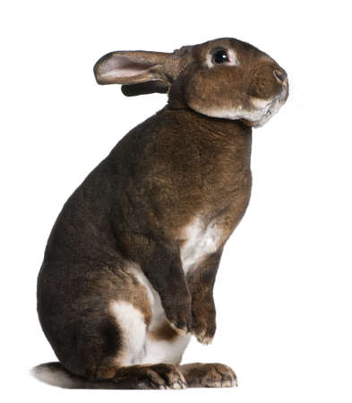 hind: Castor Rex rabbit standing on hind legs in front of white background Stock Photo