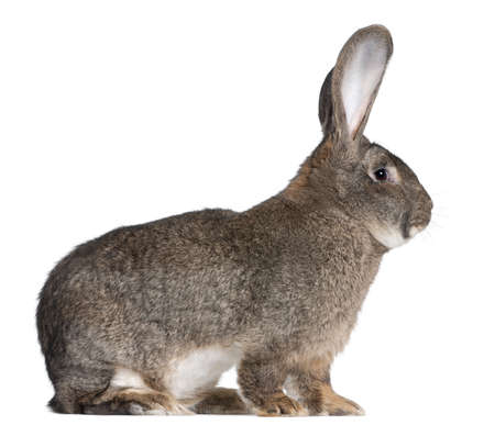 Flemish Giant rabbit in front of white background photo