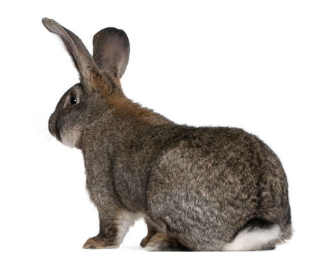 shot from behind: Flemish Giant rabbit in front of white background