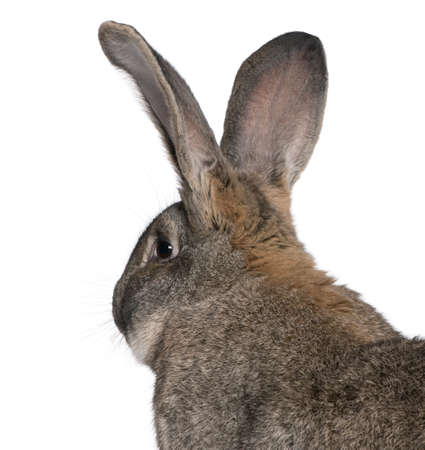 Close-up of Flemish Giant rabbit in front of white background photo