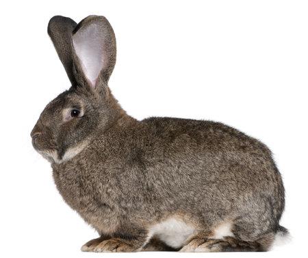 flemish: Flemish Giant rabbit in front of white background