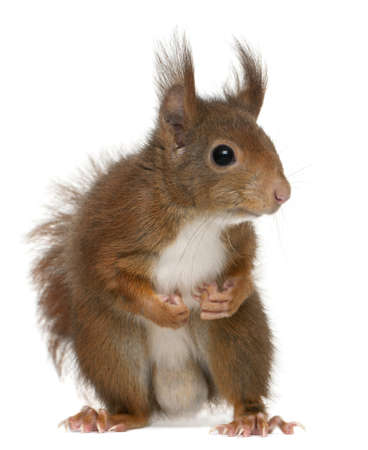 Eurasian red squirrel, Sciurus vulgaris, 4 years old, in front of white background Stock Photo - 8972150