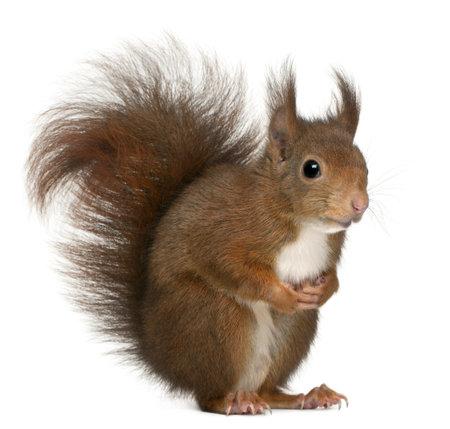 Eurasian Red Squirrel, Sciurus Vulgaris, 4 Jahre alt, an white background