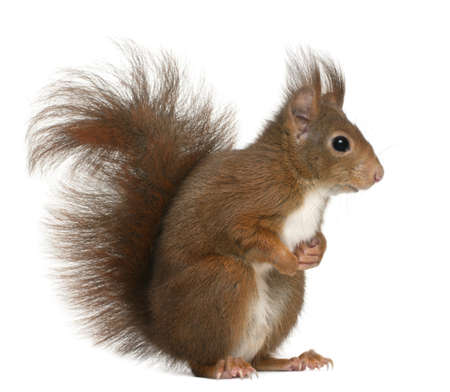 rodents: Eurasian red squirrel, Sciurus vulgaris, 4 years old, in front of white background