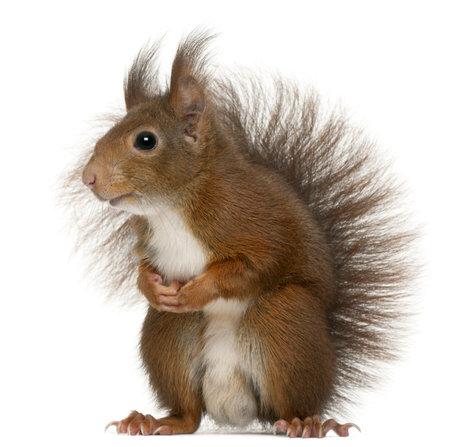 유라시아 붉은 다람쥐, Sciurus vulgaris, 4 살, 흰색 배경 앞에 스톡 콘텐츠
