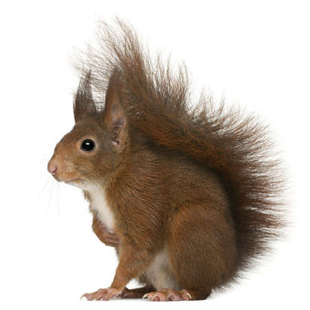 rodent: Eurasian red squirrel, Sciurus vulgaris, 4 years old, in front of white background