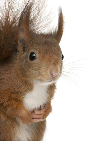 Close-up of Eurasian red squirrel, Sciurus vulgaris, 4 years old, in front of white background Stock Photo - 8972980