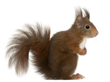 squirrel isolated: Eurasian red squirrel, Sciurus vulgaris, 4 years old, in front of white background