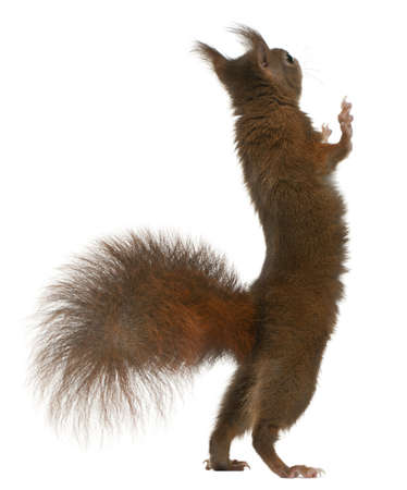 hind: Eurasian red squirrel on hind legs, Sciurus vulgaris, 4 years old, in front of white background