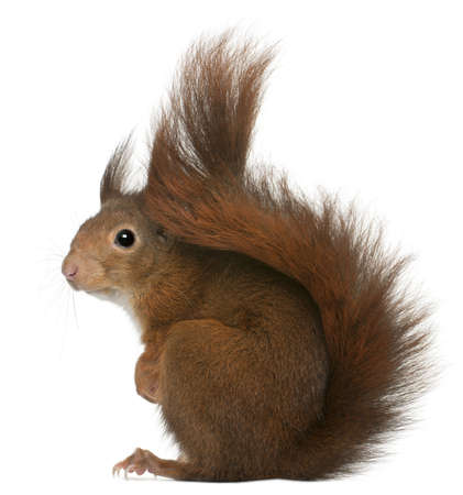 a white background: Eurasian red squirrel, Sciurus vulgaris, 4 years old, in front of white background