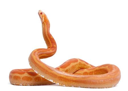 orange snake: Scaleless Corn Snake, Pantherophis Guttatus, in front of white background