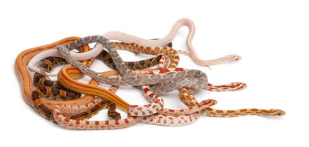 slithering: Scaleless Corn Snakes, Pantherophis Guttatus, in front of white background