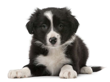 pups: Border Collie puppy, 6 weeks old, lying in front of white background