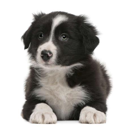 lying in front: Border Collie puppy, 6 weeks old, lying in front of white background