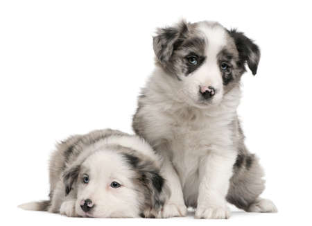 Blue Merle Border Collie puppies, 6 weeks old, in front of white background photo