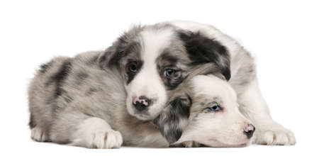 weeks: Blue Merle Border Collie puppies, 6 weeks old, in front of white background
